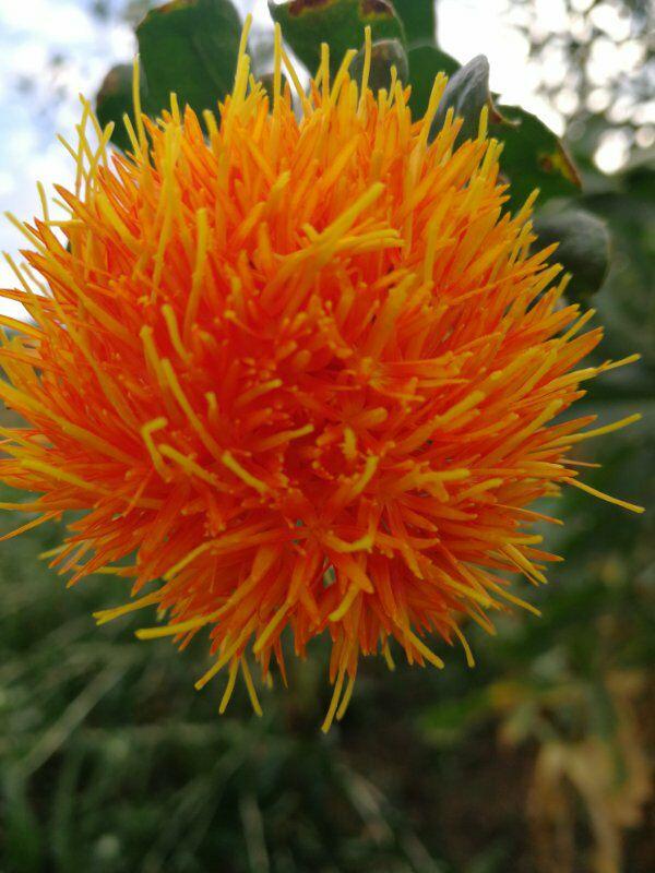 红花(班卡)